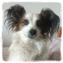 Ugo, chien Parson Russell Terrier