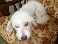 Ugo, chien Coton de Tuléar