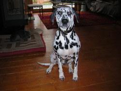 Uka, chien Dalmatien