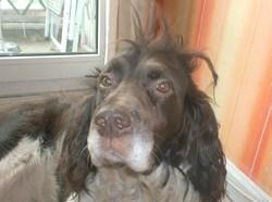 Uki, chien Springer anglais