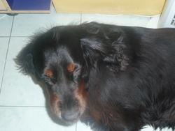 Ukxy, chien Setter Gordon