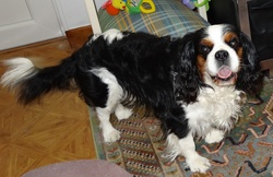 Uky, chien Cavalier King Charles Spaniel