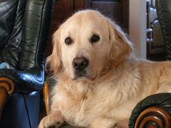 Ulan, chien Golden Retriever