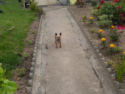 Ulan, chien Yorkshire Terrier