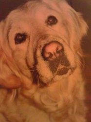 Ulane, chien Golden Retriever
