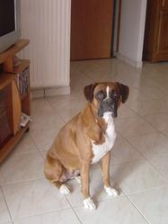 Ulca, chien Boxer
