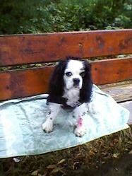 Ulcia, chien Cavalier King Charles Spaniel