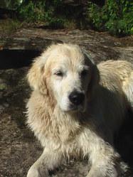 Ulco, chien Golden Retriever