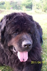 Ulfang, chien Terre-Neuve