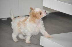 Uliana Du Pré Des Trolls, chien Chien chinois à crête