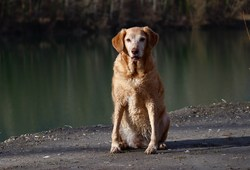 Ulina, chien Golden Retriever
