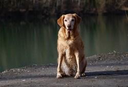 Ulina, chien Golden Retriever