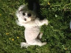 Uline, chien Bichon à poil frisé