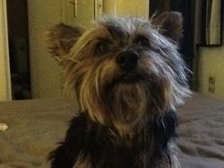 Ulis, chien Yorkshire Terrier