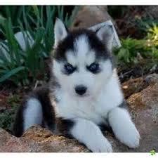 Ulisse , chien Husky sibérien