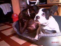 Ulisse, chien Bouledogue français