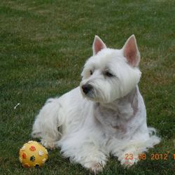 Ulka, chien West Highland White Terrier