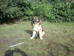 Ulker, chien Berger du Caucase