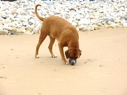 Ullane, chien
