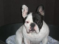 Ullary, chien Bouledogue français