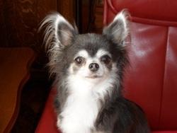 Ulrika, chien Chihuahua