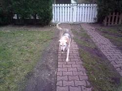 Ulysse, chien Husky sibérien