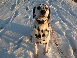 Ulysse, chien Dalmatien