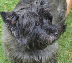 Ulysse, chien Cairn Terrier