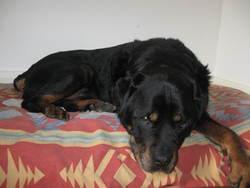 Ulysse, chien Rottweiler