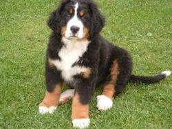 Ulysse, chien Bouvier bernois