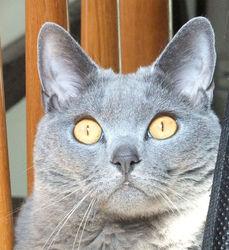Ulysse, chat Chartreux