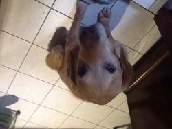 Ulysse, chien Labrador Retriever