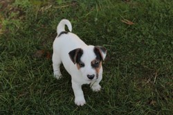 Ulysse, chiot Jack Russell Terrier