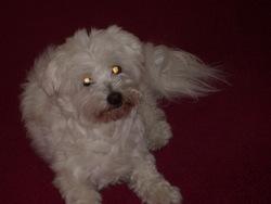Ulysse, chien Coton de Tuléar