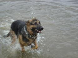 Ulysse, chien Berger allemand