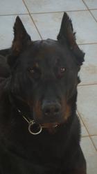 Ulysse, chien Beauceron