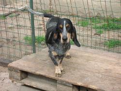 Ulysse, chien Bleu de Gascogne