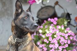 Ulysse, chien Berger belge