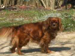 Ulyzane, chien Cavalier King Charles Spaniel