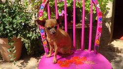 Uma, chien Chihuahua