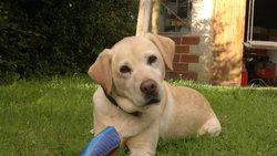 Umma, chien Labrador Retriever