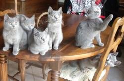 Une Jolie Brochette  De Chatons , chat Chartreux