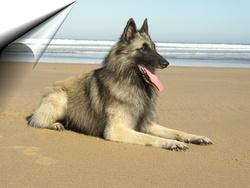 Unka, chien Berger belge