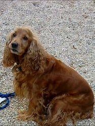 Una, chien Cocker anglais