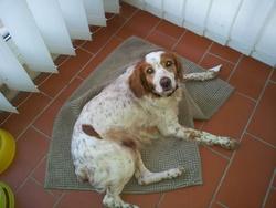 Una, chien Épagneul breton