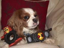 Una, chien Cavalier King Charles Spaniel