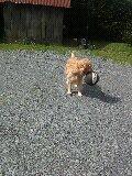 Unca, chien Golden Retriever