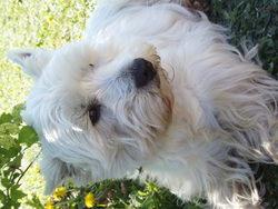 Undy, chien West Highland White Terrier