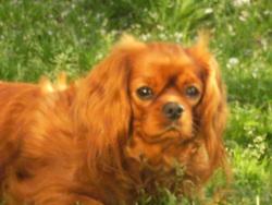 Une-Dell-Luna Carham, chien Cavalier King Charles Spaniel