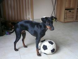 Unella, chien Manchester Terrier